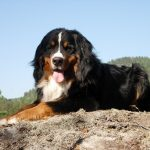28-02-17-bernese-mountain-dog8995