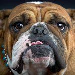 28-02-17-bulldog15309
