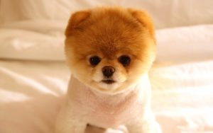 28-02-17-cute-dog-boo-wallpaper13523