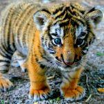 28-02-17-cute-tiger-cub10449