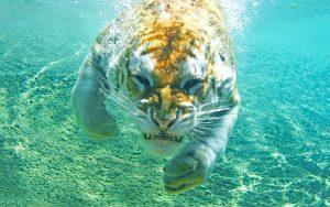 28-02-17-diving-tiger11212