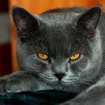 28-02-17-grey-cat-yellow-eyes13614