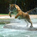 28-02-17-jumping-tiger-wallpaper16297