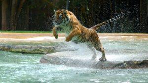 28-02-17-jumping-tiger-wallpaper16297