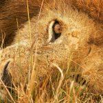 28-02-17-lions-wallpaper-5855