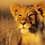 28-02-17-lions-wallpaper-9536