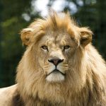 28-02-17-male-lion-majes-tic13053