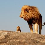 28-02-17-male-lion-with--cub11448