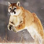 28-02-17-mountain-lion-j-umping14925