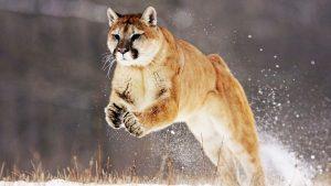 28-02-17-mountain-lion-j-umping14925
