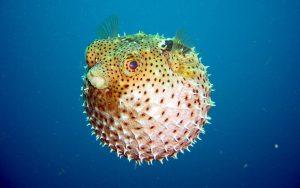 28-02-17-puffer-fish14338