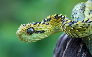 28-02-17-snake-atheris-hispida-viper18197