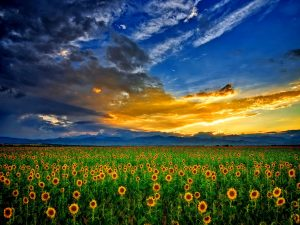 28-02-17-sunflower-field-wallpaper6348