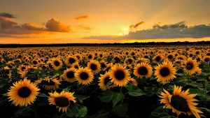 28-02-17-sunflower-wallpapers1809