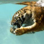 28-02-17-tiger-underwater14079