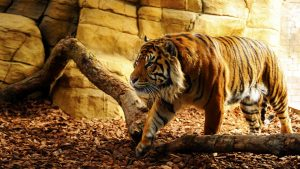 28-02-17-tiger-wallpapers947