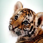 28-02-17-tiger-wallpapers953