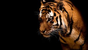 28-02-17-tiger-wallpapers954