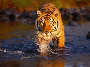 28-02-17-tiger-wallpapers958