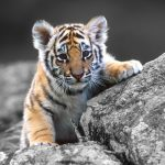 28-02-17-tiger-wallpapers961