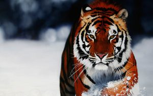 28-02-17-tiger-wallpapers965