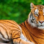 28-02-17-tiger-wallpapers966
