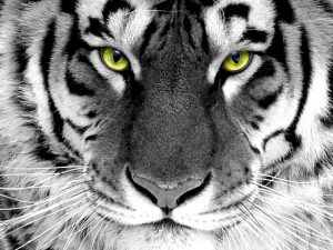 28-02-17-tiger-wallpapers967