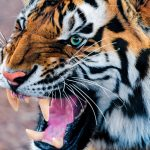 28-02-17-tiger-wallpapers982