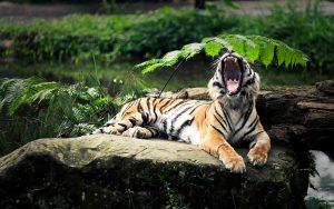 28-02-17-tiger-yawning11199