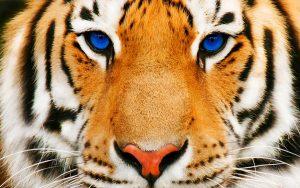 28-02-17-tiger13638