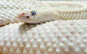 28-02-17-white-albino-rattlesnake10867