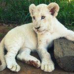 28-02-17-white-lion-imag-e10976