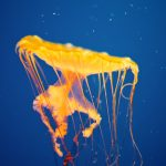 28-02-17-yellow-jellyfish-wallpaper14555