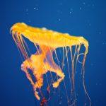 28-02-17-yellow-jellyfish-wallpaper14555