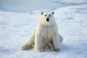 ---animals-polar-bears-snow-679