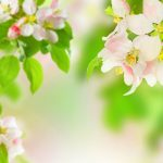 ---apple-blossom-wallpaper-for-desktop-13299