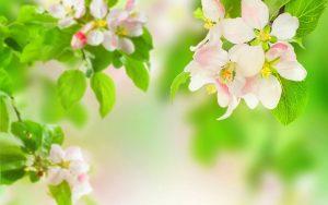 ---apple-blossom-wallpaper-for-desktop-13299