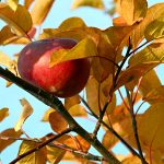 ---autumn-apple-6756