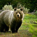 ---bear-wallpaper-13511