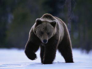 Brown Bear Walking in Snow