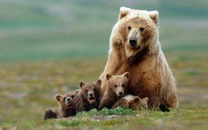 Grizzly bear sow with four cubs near Moraine Creek, Katmai Natio