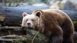 ---bear-wallpapers-756