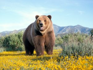 ---bears-13512