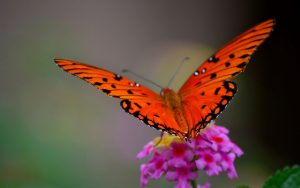 ---black-red-butterfly-7307