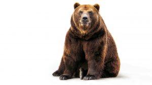brown-bear-2560x1600-hd-6766