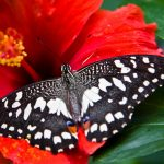 butterfly-2560x1440-bright-red-hibiscus-bloom-3503
