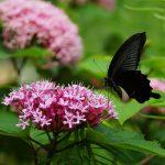---butterfly-black-7517