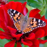 ---butterfly-red-flower-7523