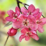 ---crabapple-blooms-14262