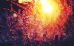 ---nature-flowers-sunset-10768
